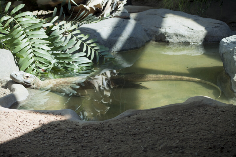 Komodo Dragon in Water