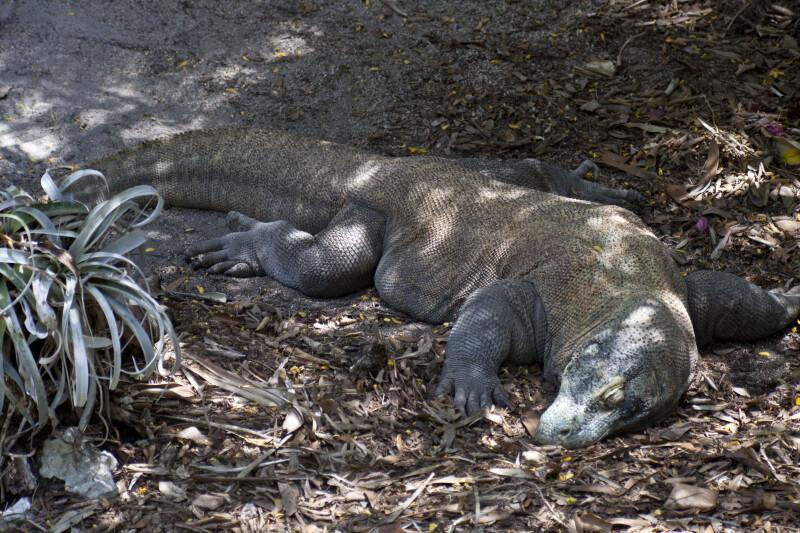 Komodo Dragon Napping