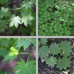Korean Maple Trees photographs