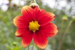 """""""Korona"""" Dahlia Flower"""