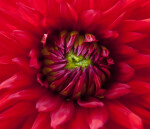 """Korsarz"" Dahlia Close-Up"