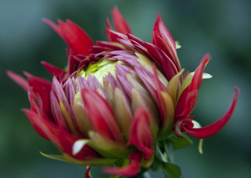 Korsarz Dahlia Flower