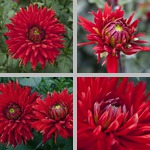 Korsarz Dahlias photographs