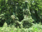 Kudzu at Corkscrew