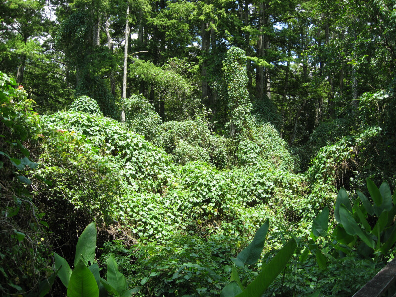 Kudzu Infestation