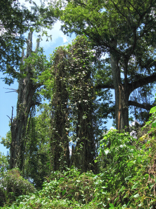 Kudzu on Dead Trees