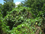 Kudzu Vines at Corkscrew