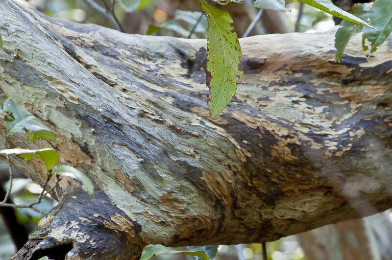 Lacewood Tree Bark