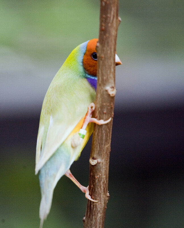 Lady Gouldian Finch on Branch