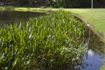 Lake Edge with Alligator Flag Plants