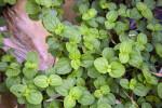 Lamiaceae Opposite Leaves
