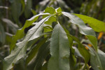 Lanceolate Flordabelle Peach Leaves