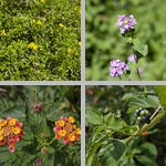 Lantanas photographs