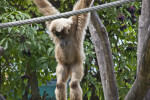 Lar Gibbon on Rope
