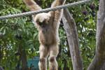 Lar Gibbon on Rope