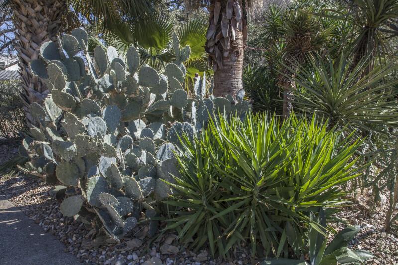 Large Cactus in the Alamo Convento Garden