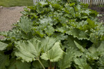 Large Leaves of a Rhubarb Plant