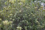 Large Shrub at Long Pine Key of Everglades National Park