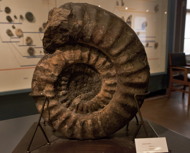 Large-Spiral Shaped Shellfish Fossil