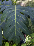 Large, Thick Breadfruit Leaves
