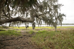 Large Tree Branch Extending Over a Grassy Area in Front of Lake Myakka