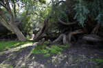 Large, Twisted Tree Trunks