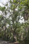 Laurel Oak Tree