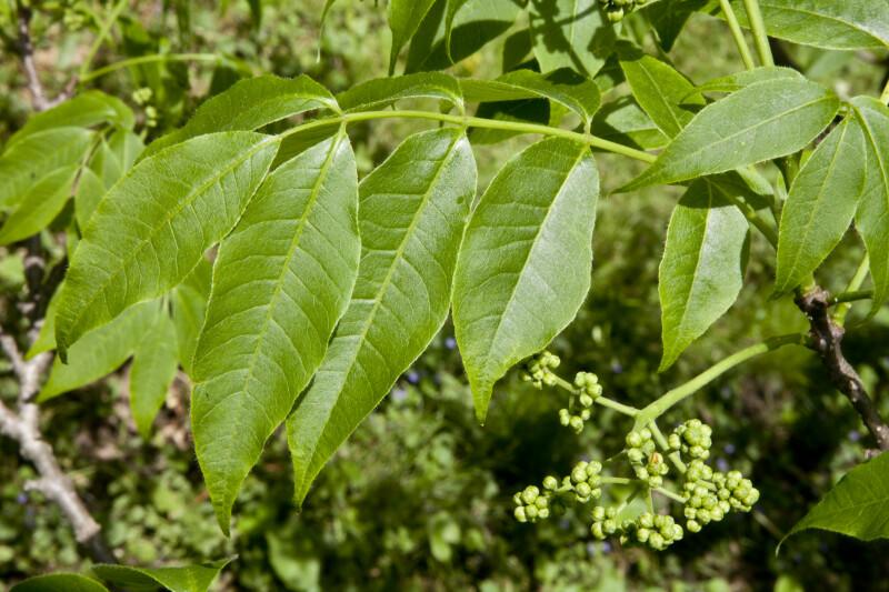 Lavalle Cork Tree Leaves