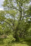 Lavalle Cork Tree