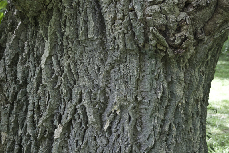 Lavalle Cork Trunk Detail