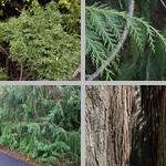 Lawson's Cypress Trees photographs