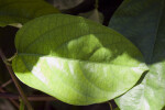 "Leaf of a ""Ruby Glow""  Vine"