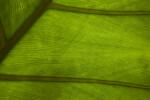 Leaf Veins Leaf Veins