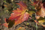 Leaf with Red and Yellow Colors Along with Dots