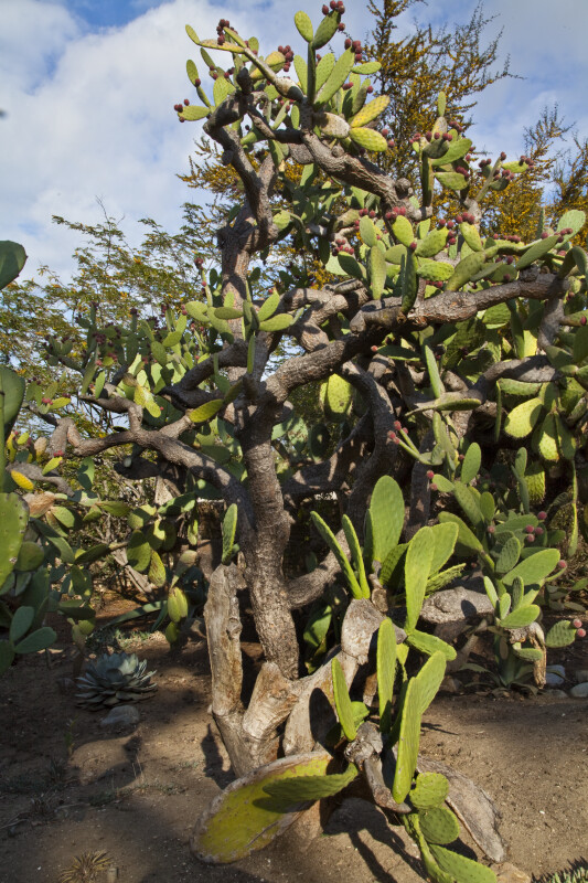 Leafless Shrub Growing Amongst a Fruiting Cactus