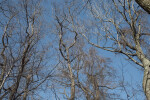 Leafless Trees at Boyce Park