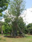 Leaning Baobab