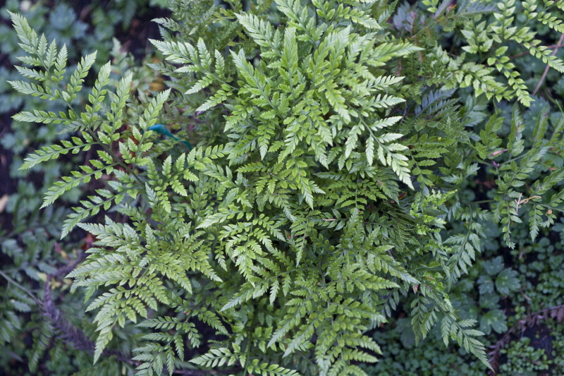 Leatherleaf Fern Branches