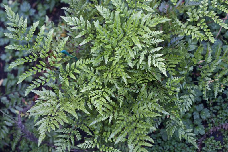 Leatherleaf Fern Branches