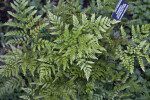 Leatherleaf Fern Leaves