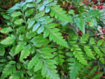 Leatherleaf Fern Fronds