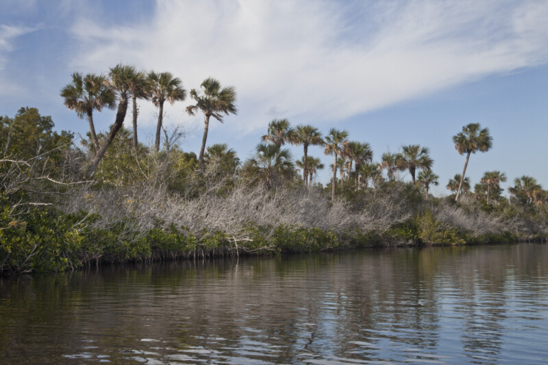 Leaved and Leafless Mangrove Branches and Palm Trees Along Halfway Creek in Everglades National Park