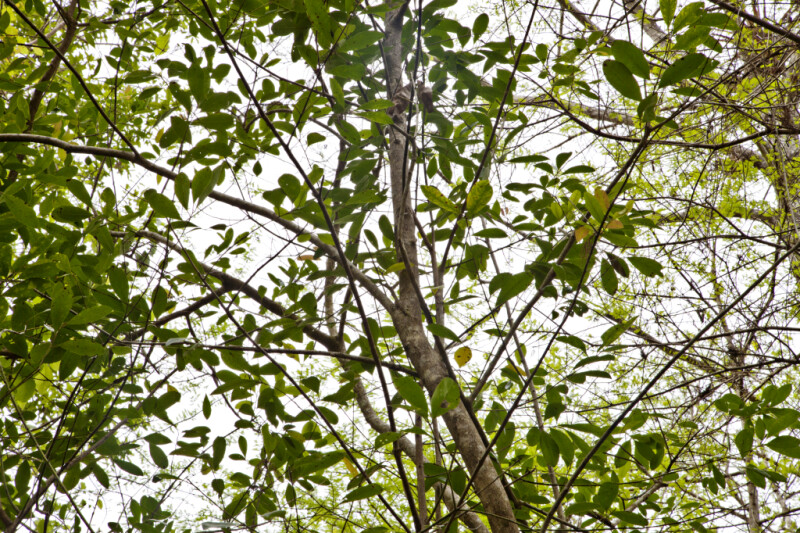 Leaves and Branches of a Pop Ash