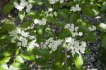 Leaves and Flowers of a Glossy Hawthorn Tree