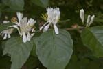 Leaves and Flowers on a Mistletoe Honeysuckle