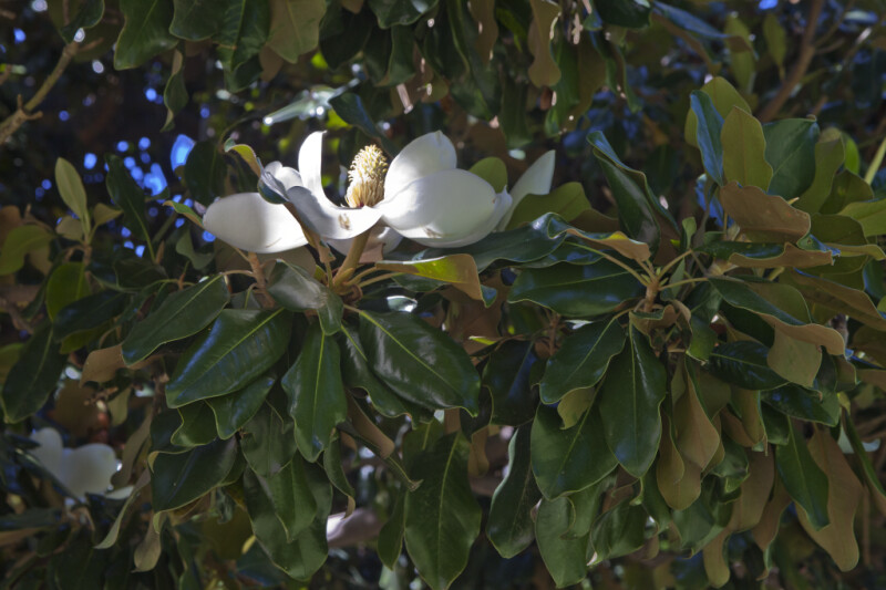 Leaves and White Flower of a Magnolia