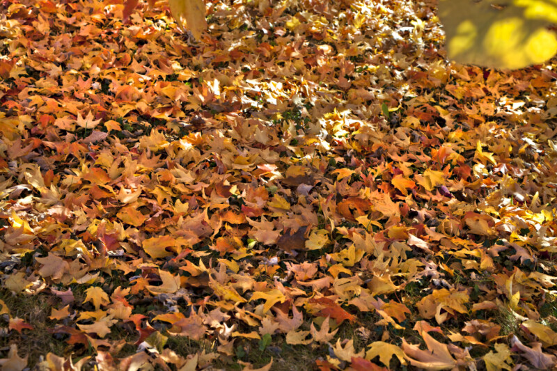 Leaves Covering the Ground at Evergreen Park