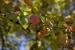 Leaves Extending from a Sassafras Branch