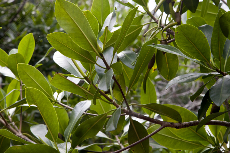 Leaves Extending from the Branches of a Mangrove Tree