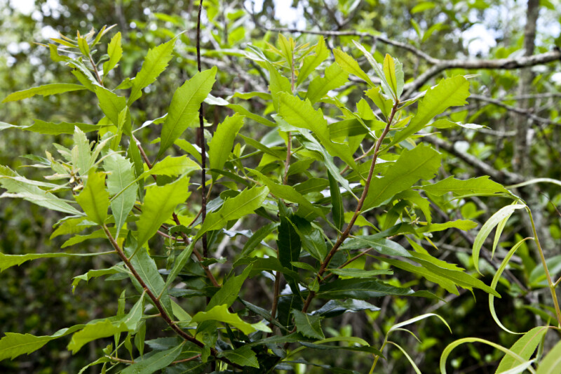 Leaves Extending from Wax Myrtle Branches